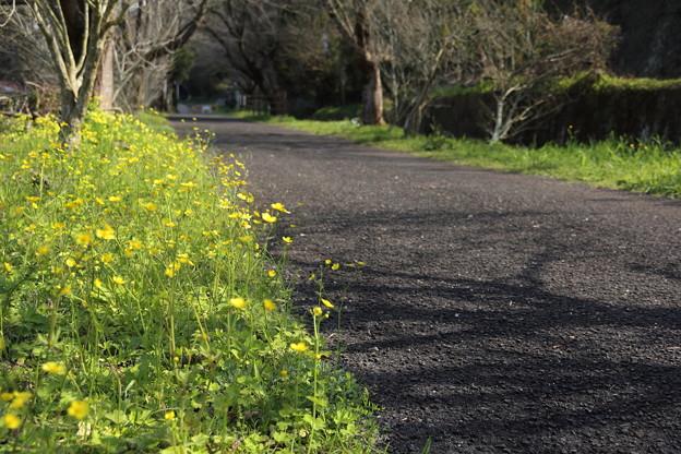 金鳳花満開ちょっと早い・・遊歩道