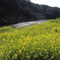 菜の花満開・・水俣川