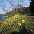湯の児海岸道路の水仙、菜の花