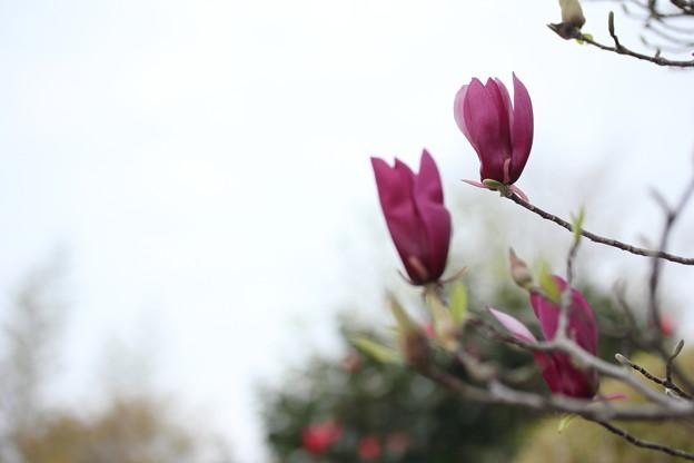木蓮 (もくれん)・・竹林園