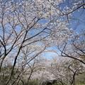 中尾山登山道の桜