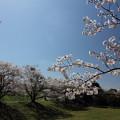 中尾山公園の桜