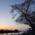 水俣川岸の桜