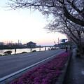 水俣川岸の桜、芝桜