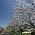 遊歩道の桜・・旧三中前
