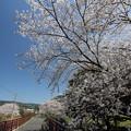 遊歩道の桜・・湯出川岸