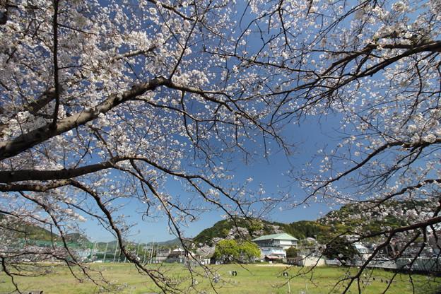 Photos: 遊歩道の桜・・湯出川岸
