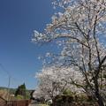 Photos: 遊歩道の桜