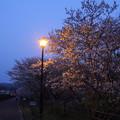 Photos: 夜桜・・遊歩道