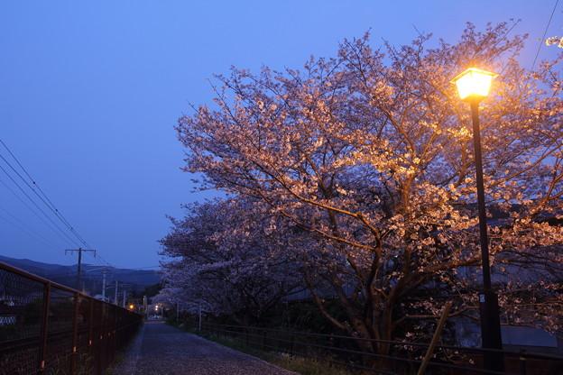 夜桜・・遊歩道