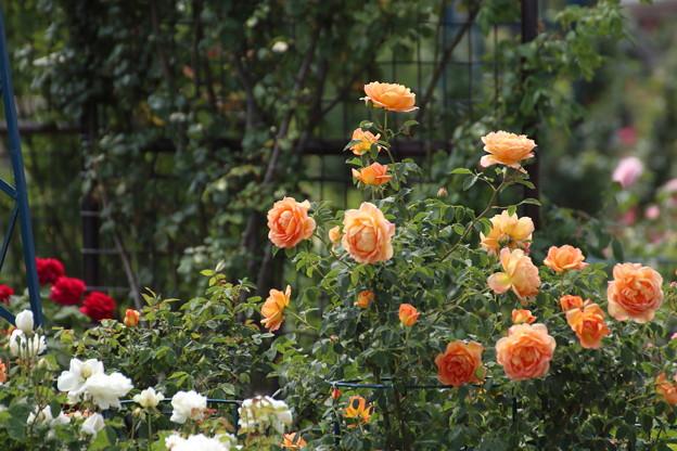 ばら園の中はこんなに咲いているのに入れません