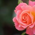 薔薇・・エコパーク水俣