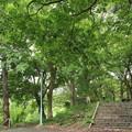 Photos: 城山のもみじ新緑