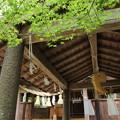 諏訪神社のもみじ新緑
