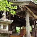 Photos: 諏訪神社のもみじ新緑