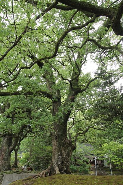 諏訪神社の楠新緑