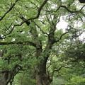 Photos: 諏訪神社の楠新緑