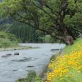 Photos: 水俣川川岸金鶏菊