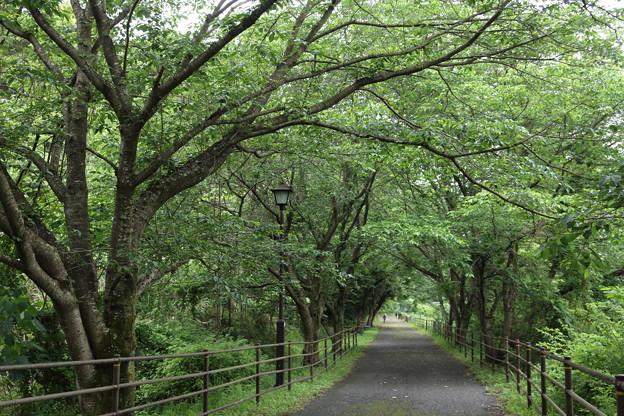 遊歩道新緑