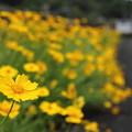 金鶏菊 (きんけいぎく)・・遊歩道