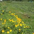 遊歩道に咲く金鶏菊