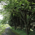 遊歩道の新緑