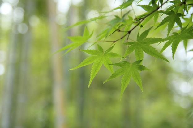 もみじの新緑・・竹林園