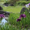花菖蒲が咲きだす・・竹林園