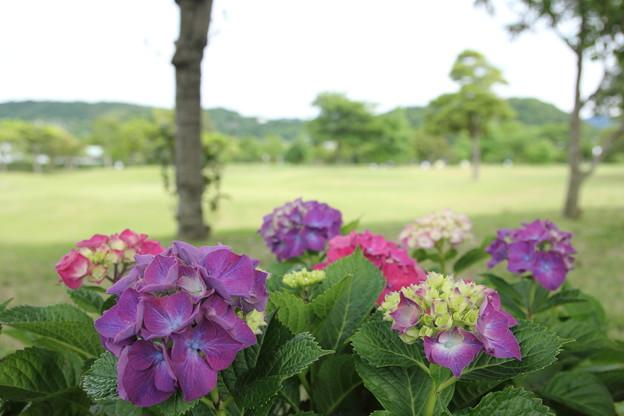紫陽花・・エコパーク水俣
