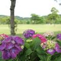 Photos: 紫陽花・・エコパーク水俣