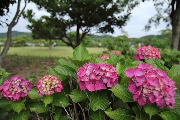 紫陽花・・エコパーク水俣グランドゴルフ