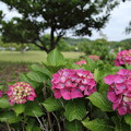 Photos: 紫陽花・・エコパーク水俣グランドゴルフ