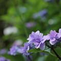 紫陽花・・諏訪神社
