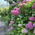 紫陽花・・深川