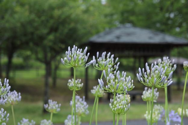 アガパンサス(紫君子蘭)・・エコパーク水俣