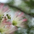 合歓の木 (ねむのき)・・エコパーク水俣