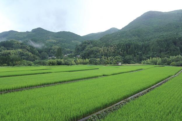稲が育ってます・・深川