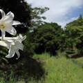 高砂百合(たかさごゆり)・・竹林園