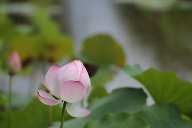 葉が伸びるがまだ咲く蓮