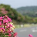 百日紅 (さるすべり)・・エコパーク水俣