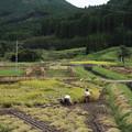 Photos: 稲刈り・・山木場