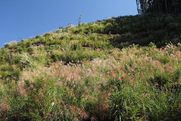 ススキが咲きだす・・中尾山からの山道
