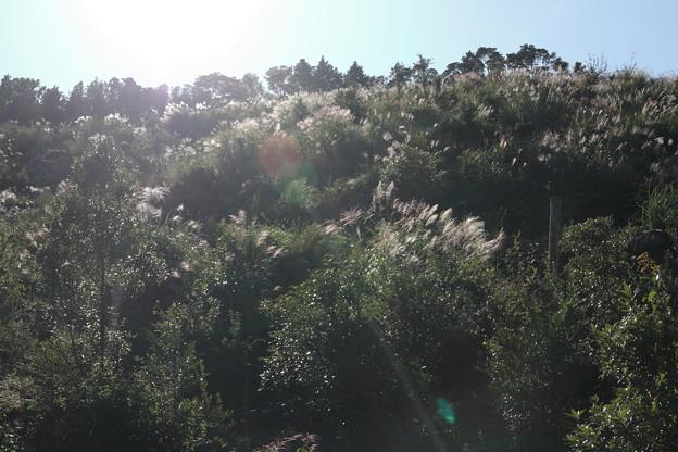 ススキ・・中尾山からの山道