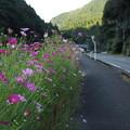 Photos: 湯の鶴温泉入り口のコスモス