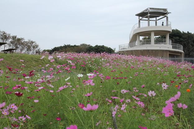 青空ほしい秋桜・・中尾山