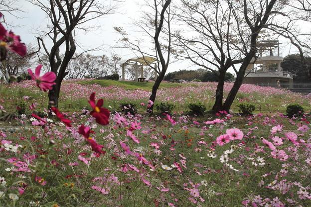 コスモス・・中尾山公園