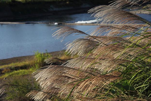 秋はススキがお似合い・・水俣川