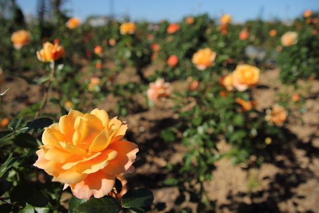 エコパーク水俣の秋の薔薇