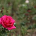秋の薔薇・・エコパーク水俣ばら園
