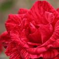薔薇・・エコパーク水俣ばら園